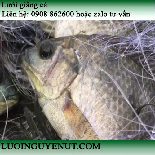 Lưới giăng cá lớn